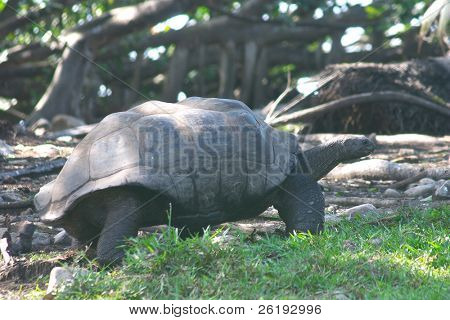 The Aldabra giant tortoise (sp. Dipsochelys dussumieri) seen on Fregate Island, in the Seychelles, where it has been reintroduced and is breeding in the wild.