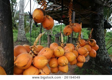 King coconuts on sale at a roadside stall in Sri Lanka. The coconuts are commonly used to provide a cheap, refreshing and sterile drink.