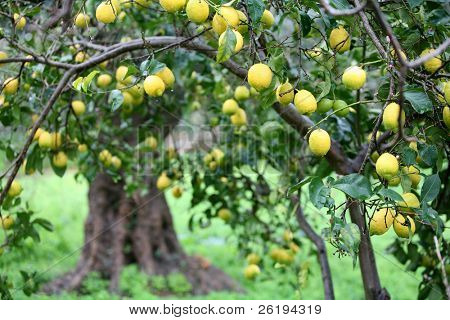 A tree heavily laden with lemons on a rainy day.
