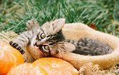 Kitten And Autumn. Kitten With Pumpkin. Nature poster