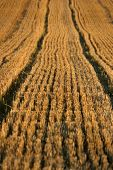 pic of gleaning  - Stubble Field in the sunlat summer in germany - JPG