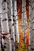 Detail of Golden Autumn Birch Leaves with Tree in Background