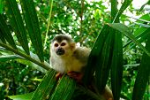 Squirrel Monkey In Manuel Antonio National Park, Costa Rica. In This Park, These Mammals Are Not Afr poster