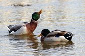 A Pair Of Male Mallard Drakes, One Rearing Up At Of The Water And Performing A Head Shake During A C poster