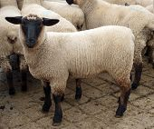 foto of suffolk sheep  - Black Faced Suffolk Lamb in with other lambs - JPG