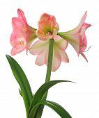 image of belladonna  - blooming amaryllis  isolated on white background - JPG