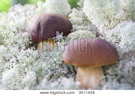 Two Small Mushrooms