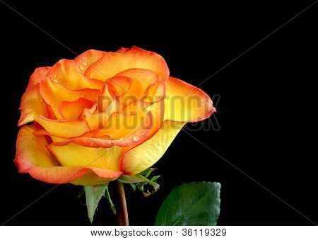 Yellow and red rose background