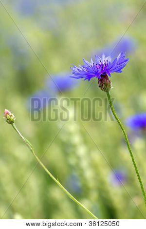 Blooming Cornflower (Centaurea cyanus) in a wheat field