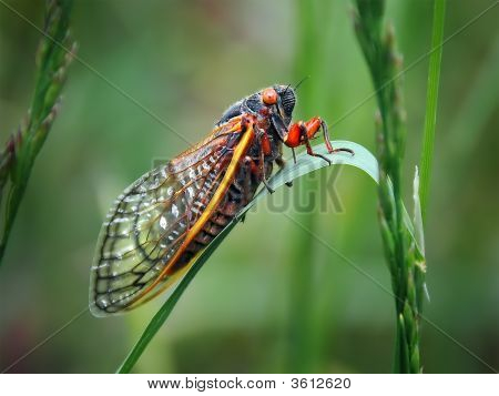 Cicada Insect On Green Grass With Red Eyes