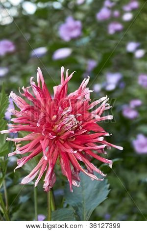Dahlia Flower In Flowerbed