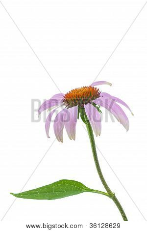 Single echinacea flower on white background