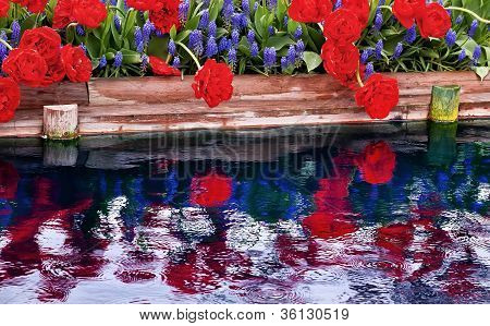 Red Tulips Blue Grape Hyacinty Reflection Skagit Valley Washington