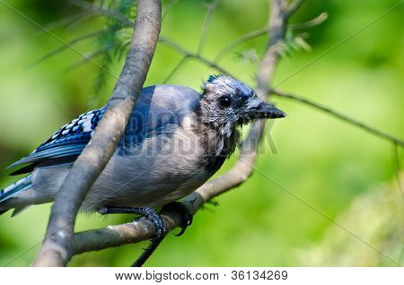 Molting Immature Blue Jay