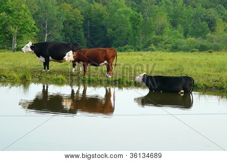 cows by a pond