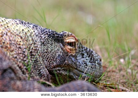 Komodo Dragon Slinking In Grass