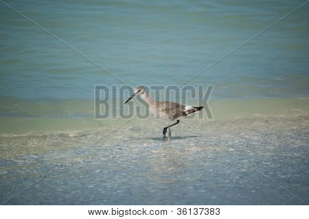 Willet On A Florida Beach