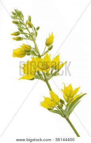 Lysimachia punctata flower (Garden Loosestrife)