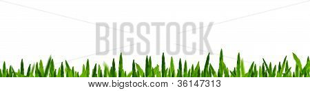 Green Grass In White Background