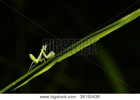 Green Mantis Mantide