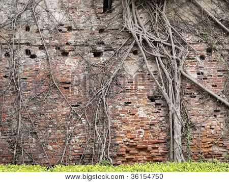 Tree Root On The Old Brick Wall