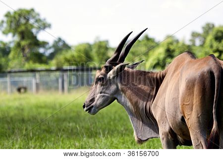 Nothing Common About This Common Eland