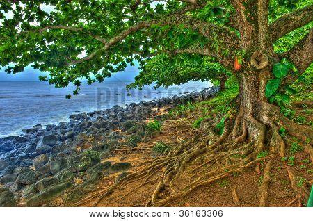 Tree With Gnarled Roots On Kauai