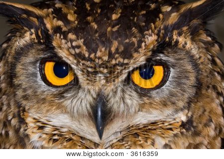 Cape Eagle Owl Close-Up