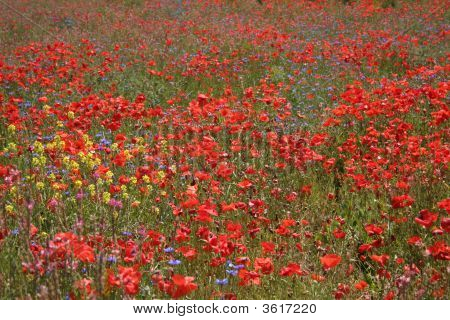 Meadow With Wild Flowers