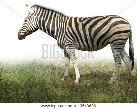 African Zebra On Green Grass Isolated Over White Background