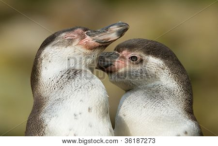 Close-up Of A Humboldt Penguin