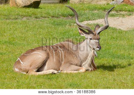 Greater Kudu Portrait; Tragelaphus Strepsiceros