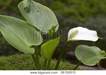 Calla palustris flower