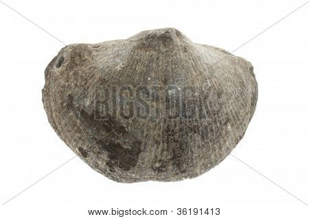 Large Fossil Shell