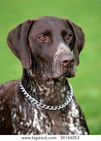 Deutsch Kurzhaar dog