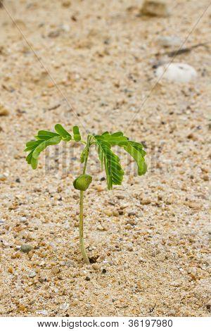 Small tamarind on dry sand