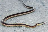 stock photo of harmless snakes  - A garter snake with his tongue out - JPG
