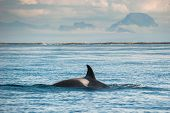 picture of orca  - orca whale in open sea - JPG
