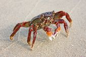 stock photo of carapace  - Funny red crab on the beach in Varkala Kerala India - JPG