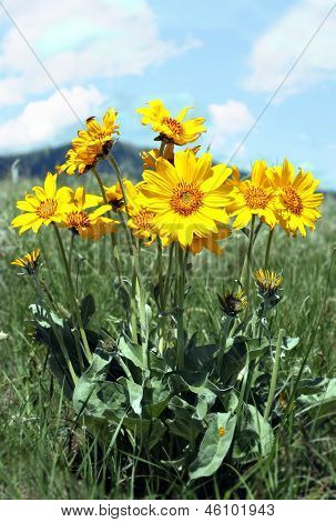 Rocky Mountain Sunflowers