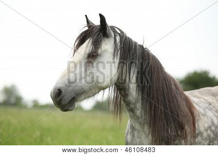 Nice Grey Fell Pony Mare On Pasturage