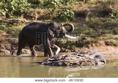 Indian Elephant Getting A Bath In Mudhumalai Wildlife Reserve