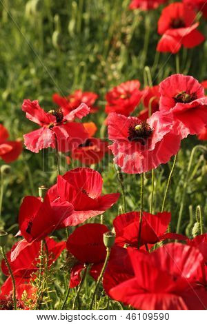 Composition of decorative poppies