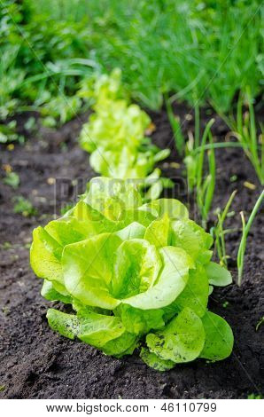 A Lettuce Patch