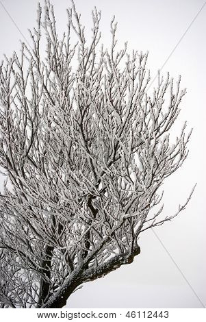 A tree with hoarfrost