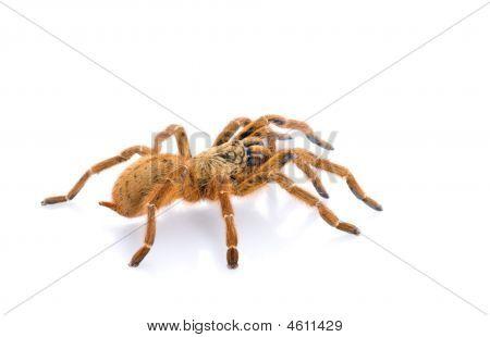 Pt. Murinus Tarantula