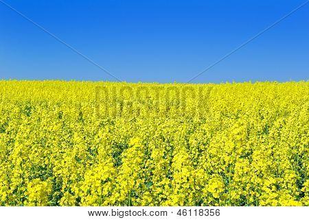 Flowering Rape Against The Blue Sky.