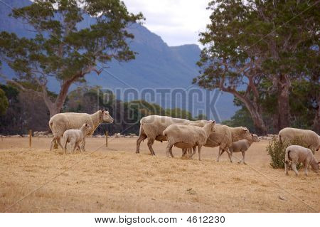 Sheep Grazing Grampians Victoria