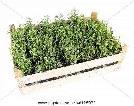 Wooden crate full of aspic seedlings shot on white