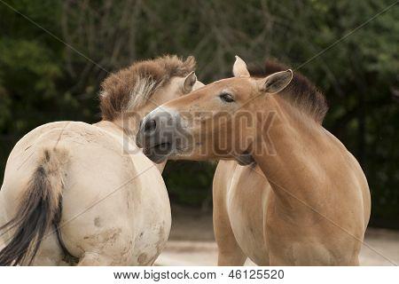 Przewalski�s Horse